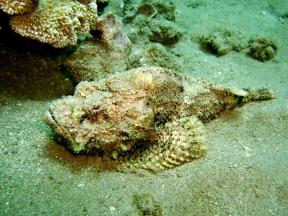 DevilScorpionfish