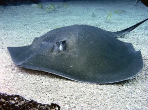 Hawaiian Stingray