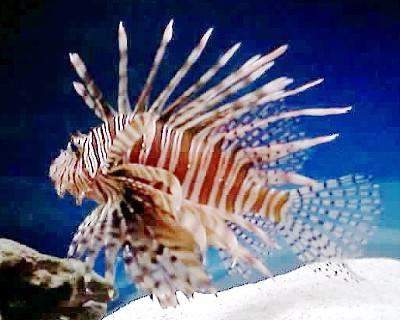 Lionfish Sting Hawaii Scuba Adventures