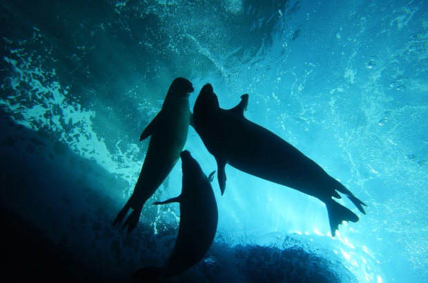 Hawaiian Monk Seals at Play